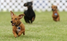 Become a Dachshund Race Sponsor